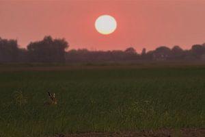 een haas onder de zonsondergang