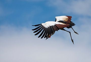 Kraanvogel sur Guido Akster