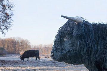 Kop van zwarte stier schotse hooglander met koe buiten van Ben Schonewille