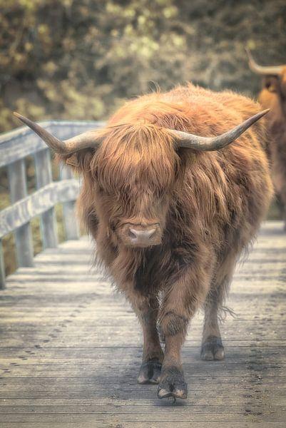 Schotse Hooglander van Adriaan Westra