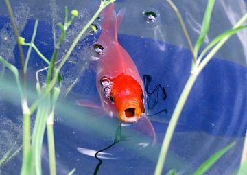 Goldfisch van