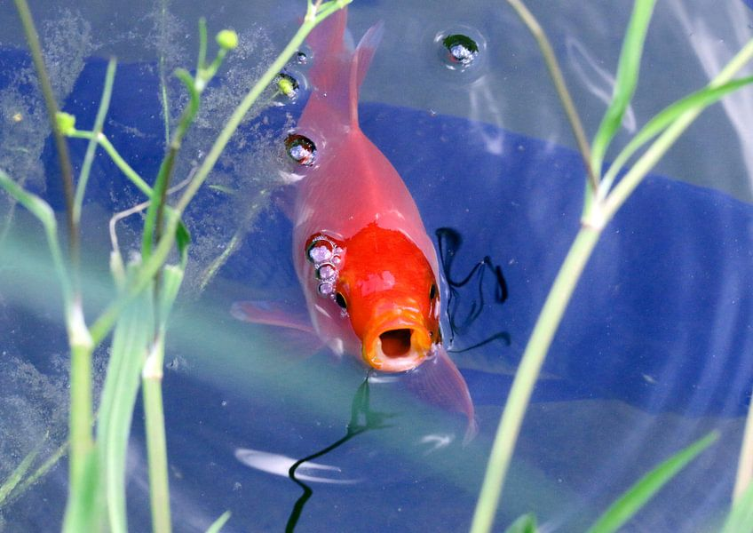Goldfisch van Rosi Lorz
