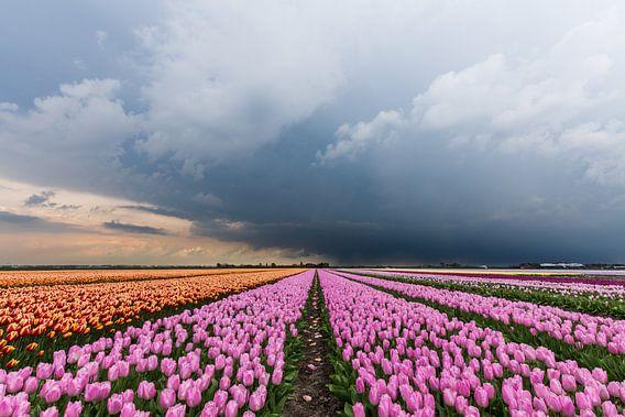 Onweer op komst, over een rose tulpenveld.