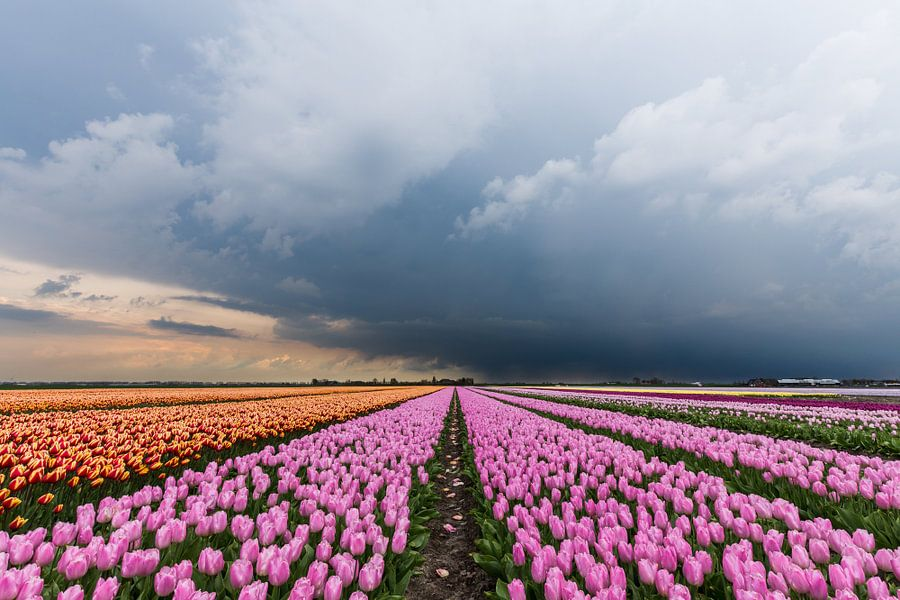 Onweer op komst, over een rose tulpenveld. van Remco Bosshard