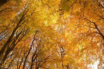 Het gouden plafond van het bos in de herfst van Klaas Dozeman