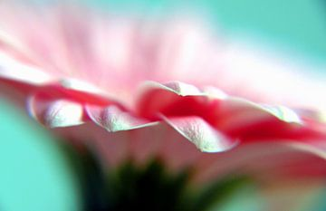 Roze Gerbera van Andreas Berheide Photography