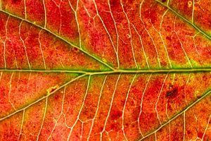 Rood hersftblad met groene nerven