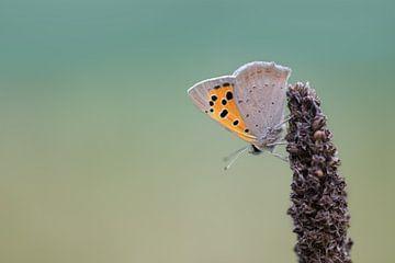 hübscher Schmetterling auf dem Kopf von KB Design & Photography (Karen Brouwer)