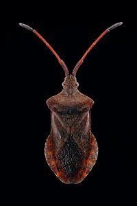 Fokusstapel eines Berry-Bugs