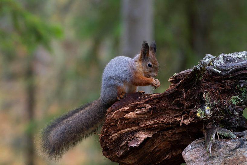 Eichhörnchen von Merijn Loch