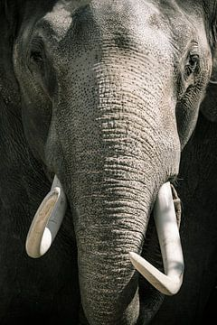 Aziatische olifant met grote witte slagtanden close up portret van Sjoerd van der Wal
