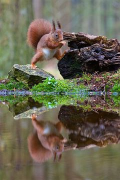 Eichhörnchen mit Reflexion im Wasser von Dirk-Jan Steehouwer