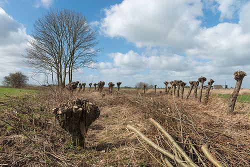 Geknotte wilgen in polderlandschap van de Alblasserwaard