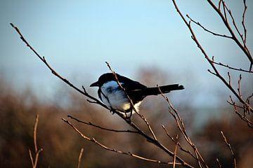Vogel op de rust van Faucon Alexis