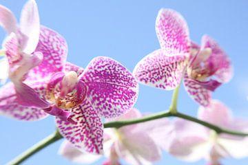 Orchidee von