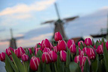 Tulpen und Windmühlen von Hannon Queiroz