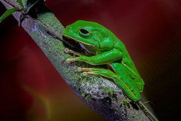 Black-eyed monkey frog von
