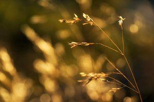 Gouden zomer oogst
