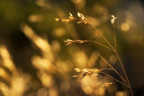 Gouden zomer oogst van