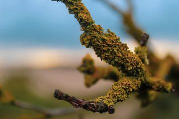 Macro shot van korstmos in de Haagse duinen van Scarlett van Kakerken