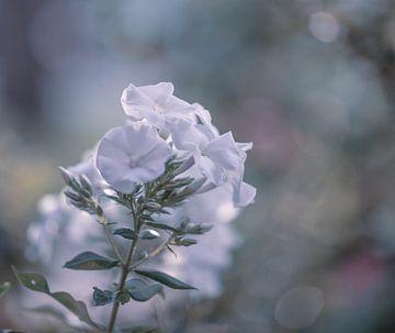 weiße Phlox von Tania Perneel