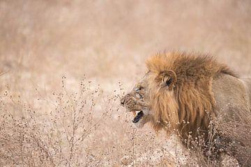Prachtige leeuw. van Francis Dost