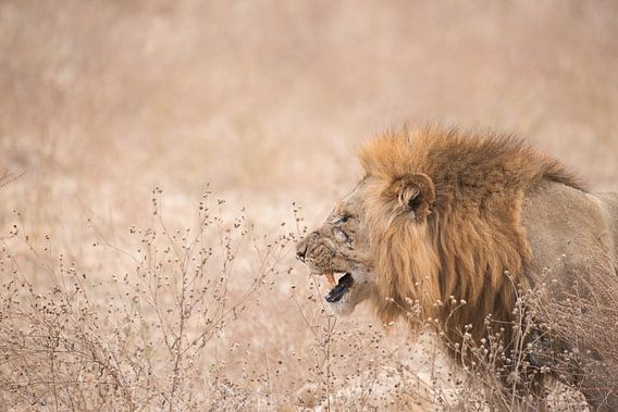 Prachtige leeuw.