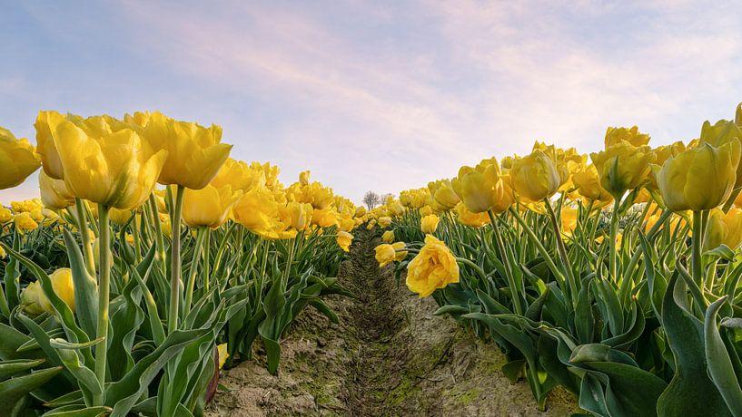 Geel tulpenveld van Michael Valjak