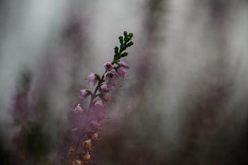 launische Heidekrautpflanze von Tania Perneel
