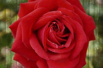 rote Rose auf Holzmaserungsuntergrund van Babetts Bildergalerie
