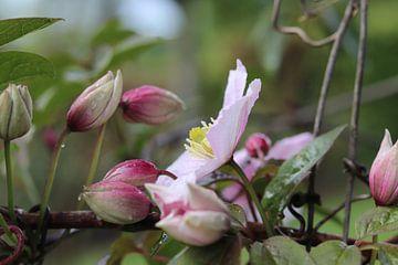 Blühender rosa Kletterzweig Klematis von Jacqueline Holman