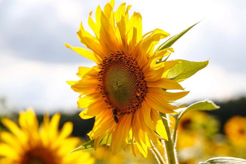 Sunflower van Erich Werner