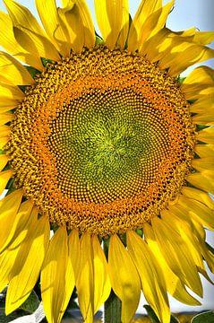 Zonnebloem von Tineke Visscher