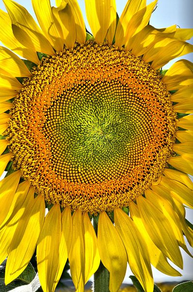 Zonnebloem van Tineke Visscher