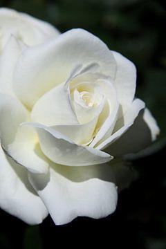 Weiße Rose von Christiane Schulze