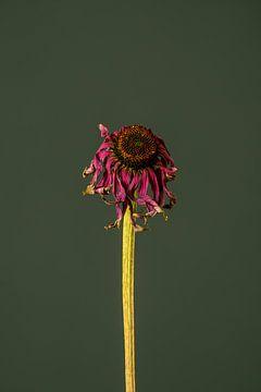 Rosa Totenblume (grün) von michel meppelink