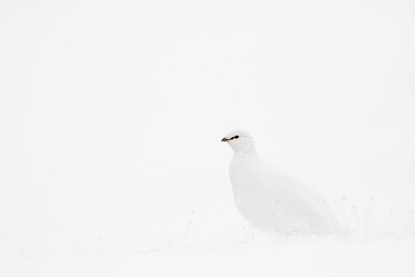 Sneeuwhoen in de sneeuw van Sam Mannaerts Natuurfotografie