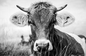 Koe in het gras