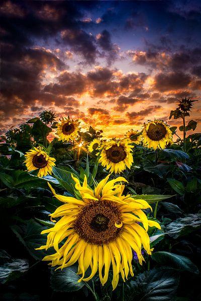 zonnebloemen van Rubin Versigny