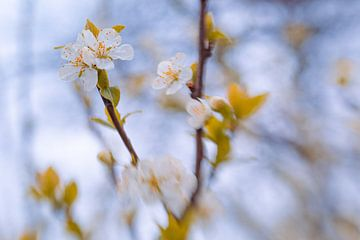Fresh-Blossom van Hiske Boon