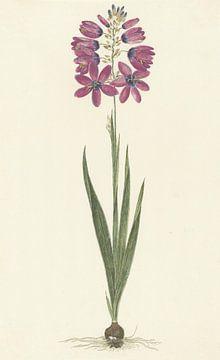 Ixia lutea Eckl. var. ovata. von Robert Jacob Gordon, 1777 - 1786