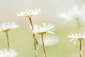 Weiche Gänseblümchen, weiße Blüten von KB Design & Photography (Karen Brouwer)