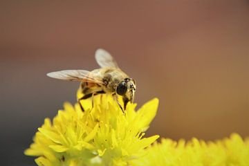 Délicatesse jaune pour l'abeille sur Marije Zwart