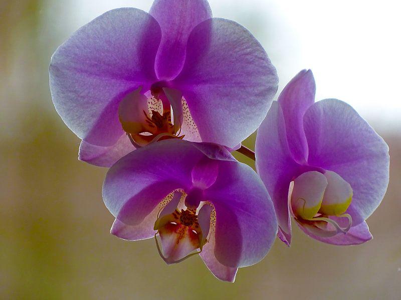 Orchidee von Sandra de Moree