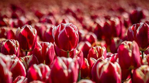 Wie is de mooiste tulp van allemaal