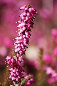springtime! ... pink, pinker, pinkest III
