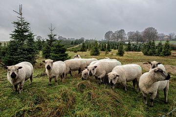 schapen van Bas Quaedvlieg