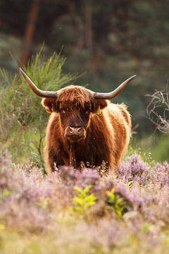 Schotse hooglander van Pim Leijen