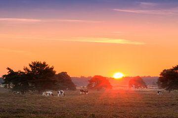 Zonsopkomst op de Veluwe met koeien van