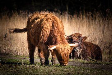 Schotse hooglanders van Marcel Alsemgeest